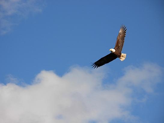 Eagle (Kim Goldberg photo)