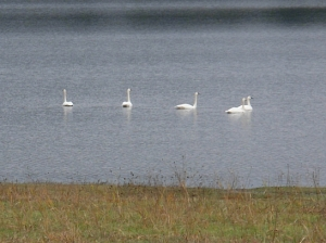Trumpeter Swans on Quennell Lake in Cedar (BC)