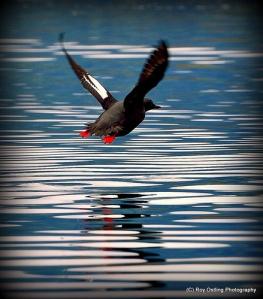 Pigeon Guillemot (2) © Roy Ostling
