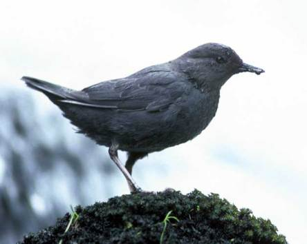 American Dipper (Cinclus mexicanus_ Source: US Fish & Wildlife Service