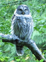 barred-owl1-8b10csat10x1